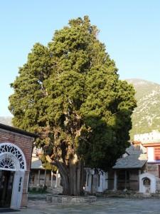 Chiparosul Sfantului Atanasie